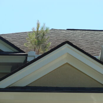 Roof pine sapling
