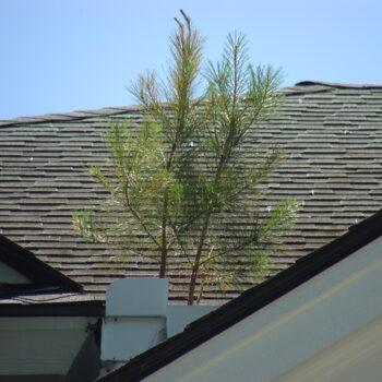 Roof pine sapling - 2